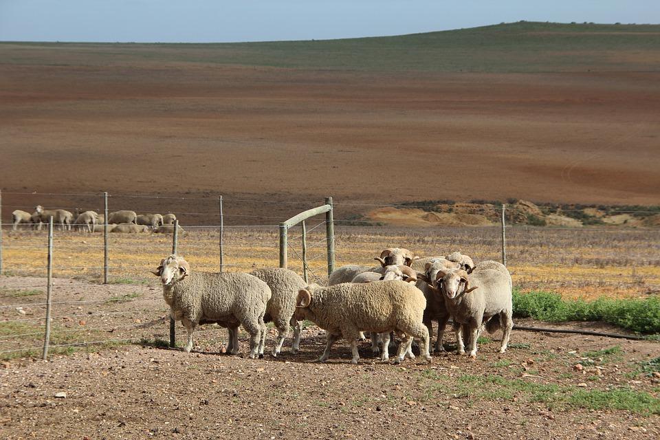 Owce rasy merynos